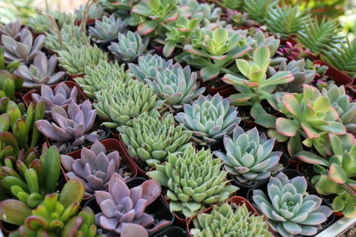 What-are-succulents-plants