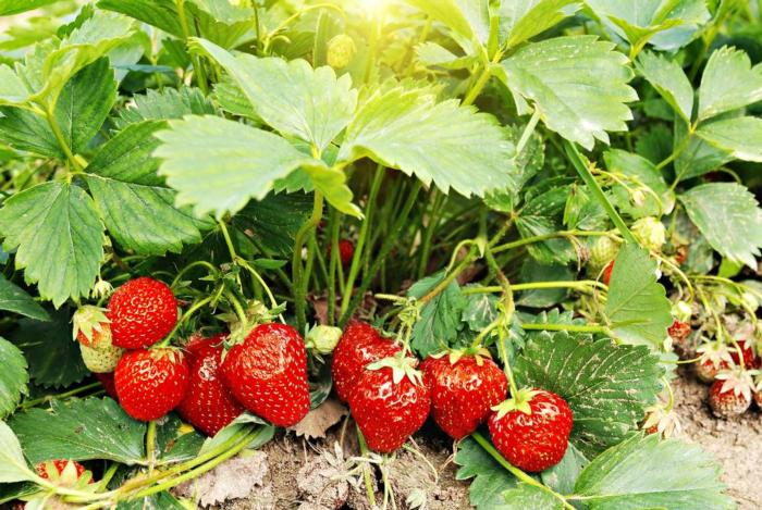 grow-strawberries-in-your-backyard